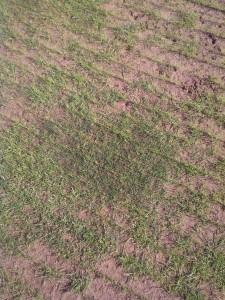 Esempio di trasemina su Bermudagrass