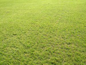 È l'ora dei Loietti. Ecco una trasemina di Lolium su cotica di bermudagrass.
